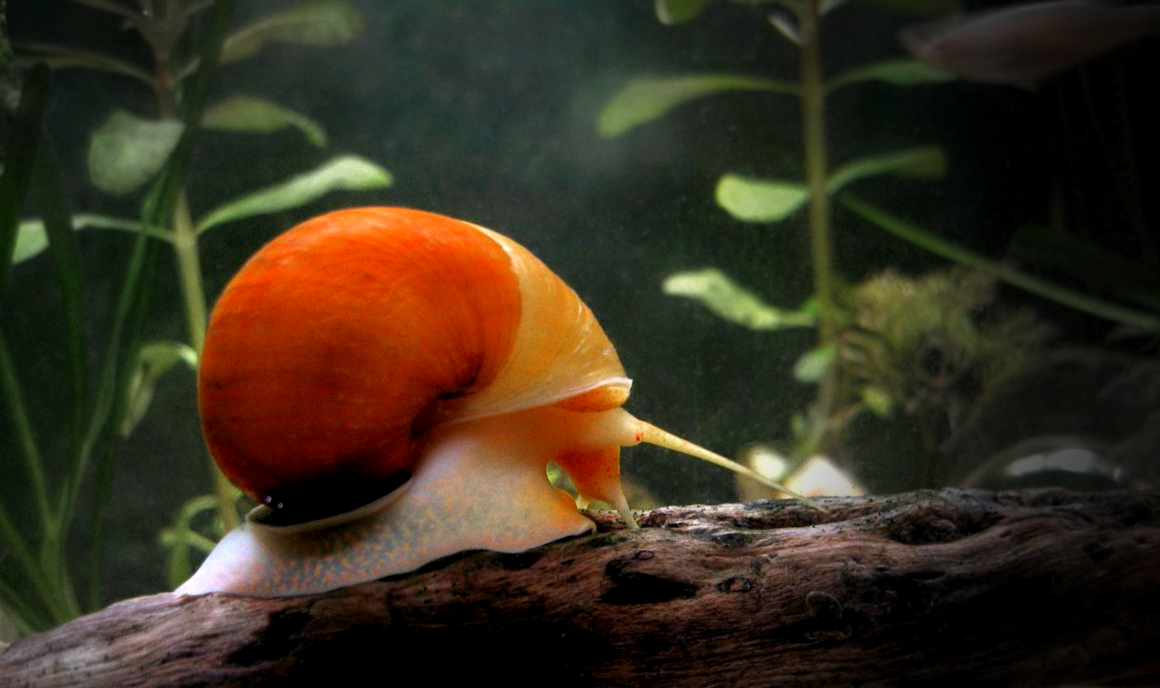 Choosing The Right Snails For Your Freshwater Aquarium Big Al S Blog