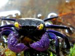 Set Yourself Apart With A Pet Vampire Crab - Big Al's Pets