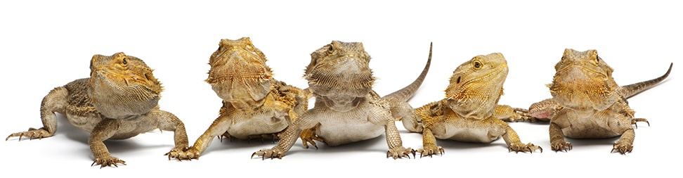 Keeping A Pet Bearded Dragon: What You Should Know - Big Al's Pets