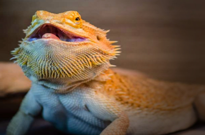 Keeping A Pet Bearded Dragon: What You Should Know