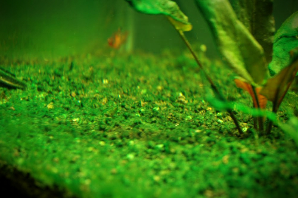 How To Control Algae Growth In Your Aquarium