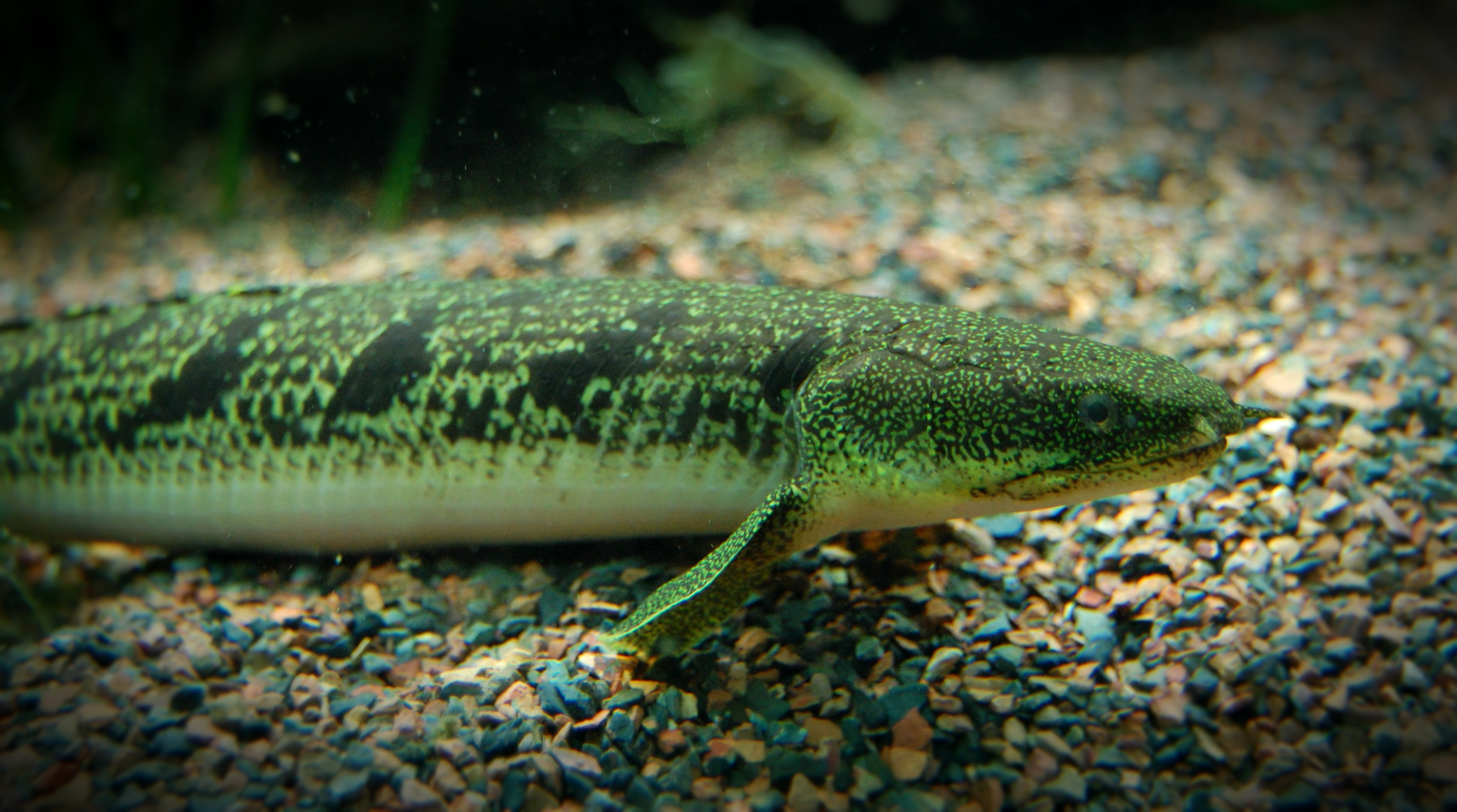 Meet Polypterus, The Dinosaur Eel!